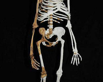 Rekonstruktion des Australopithecus sediba (Abb.: Lee Berger; University of Witwatersrand)