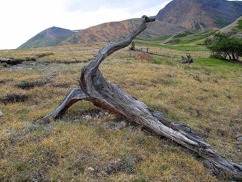 Alter Baum im Altai-Gebirge