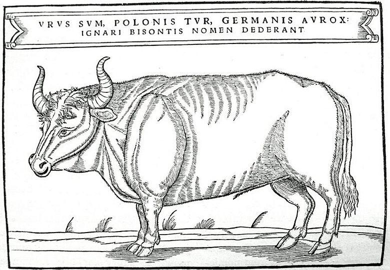 Darstellung eines Auerochsen nach Siegmund von Herberstein aus dem Jahr 1556