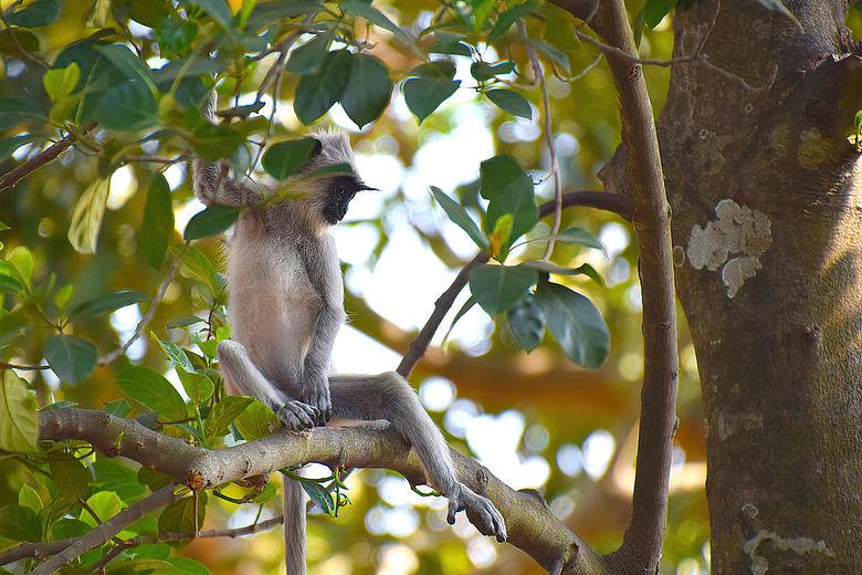 Südlicher Hanuman-Langur