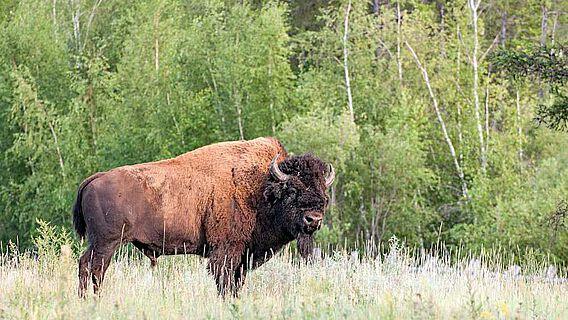 Ein Waldbison (Bison bison spp. athabascae) im Ust'-Buotama Bison-Park, zentrale Sakha Republik, Russland