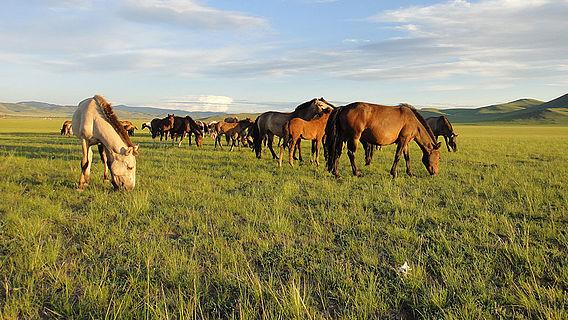 Mongolische Wildpferde