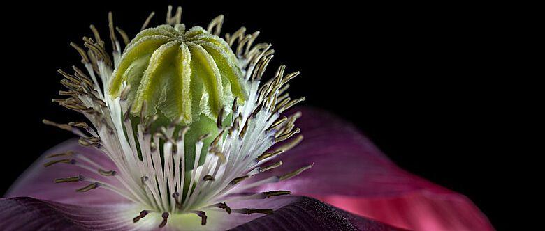 Blüte und Samenkapsel des Schlafmohns