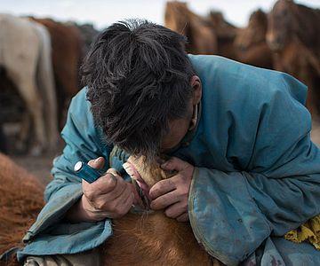 Ein mongolischer Pferdehirte entfernt mit einem Schraubenzieher einen verkümmerten Backenzahn