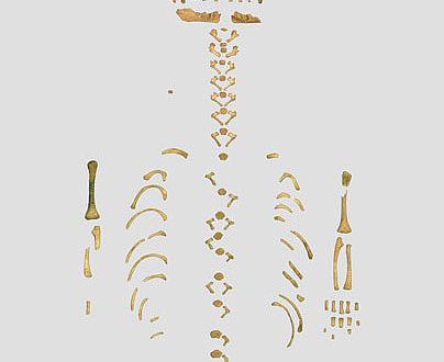 Skelett eines Neandertaler-Babys