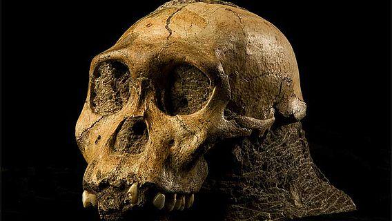Schädel von Australopithecus sediba