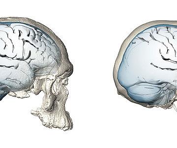Evolution der Gehirnform bei Homo sapiens