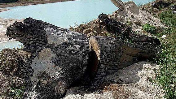 Subfossile Eiche aus dem 6. Jahrhundert gefunden und beprobt in den Flussschottern der Marne in Nordost-Frankreich. (Foto: Willy Tegel)