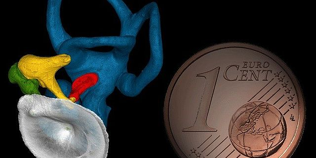 Trommelfell (grau), Gehörknöchelchenkette (gelb, grün, rot) und knöchernes Innenohr (blau) eines modernen Menschen