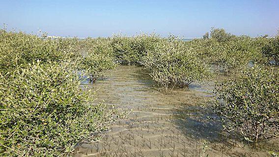 Vor 6.000 Jahren waren Mangroven in Oman weit verbreitet.