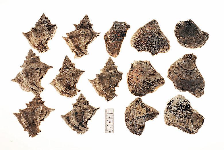 Meeresschnecken und Muschelschalen