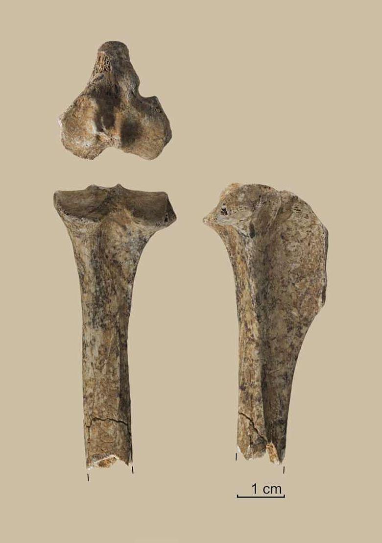 Tibia-Knochen eines Hundes aus der späteiszeitlichen Grabungsschicht