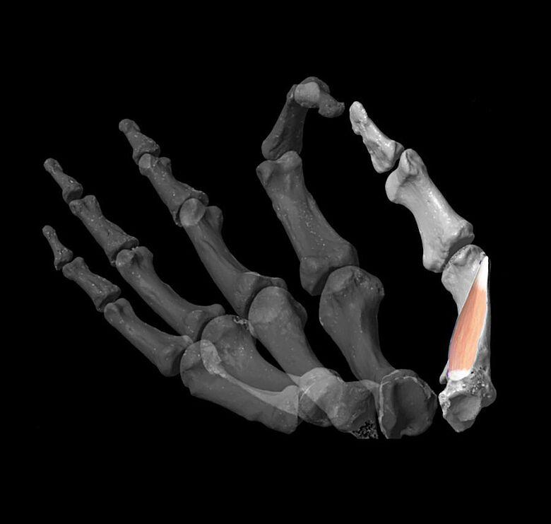 Die Forscher entwickelten ein virtuelles Model, um die Daumenbeweglichkeit zu berechnen