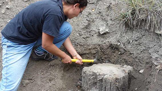 Fossile Kiefer wird freigelegt