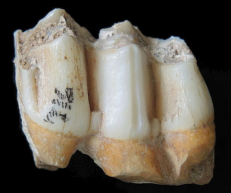 Fossile Zähne Rucervus eldii