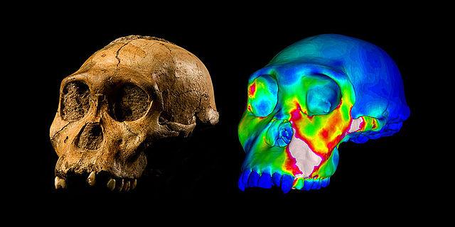 Australopithecus sediba Schädel MH1 und Simulation