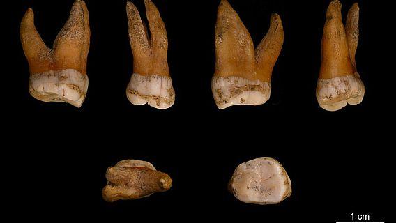 Großer Backenzahn aus dem Oberkiefer eines Neandertalers
