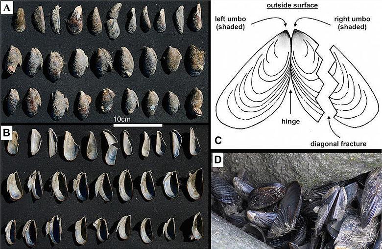 Bruchmuster von Muschelschalen