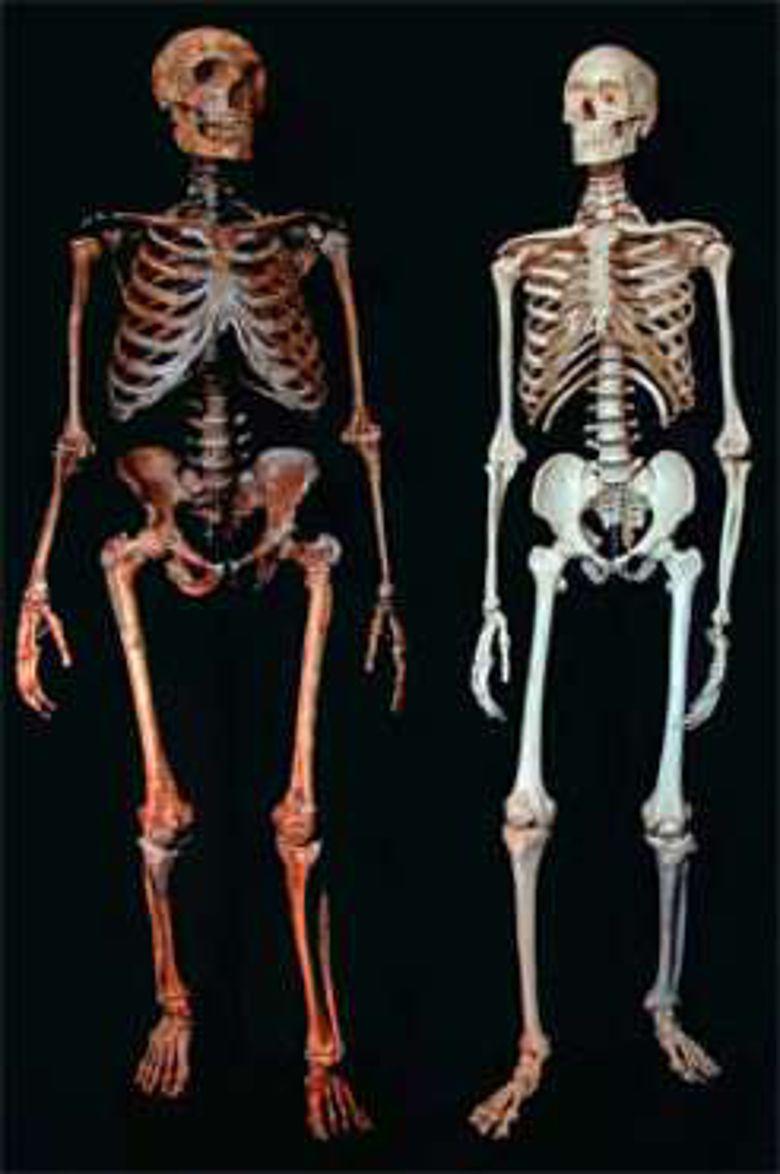 Skelett eines Neandertalers und eines modernen Menschen
