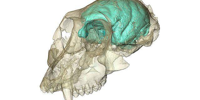 Dreidimensionales Computermodell des winzigen, aber komplexen Gehirns von Victoriapithecus