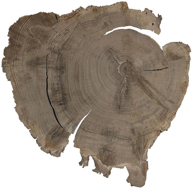 Subfossilte Kiefernscheibe
