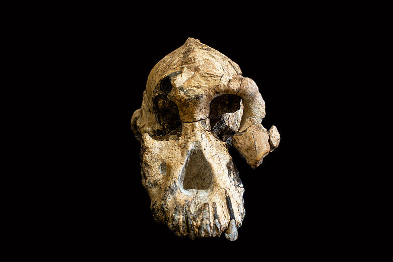 Fossiler Schädel Australopithecus anamensis