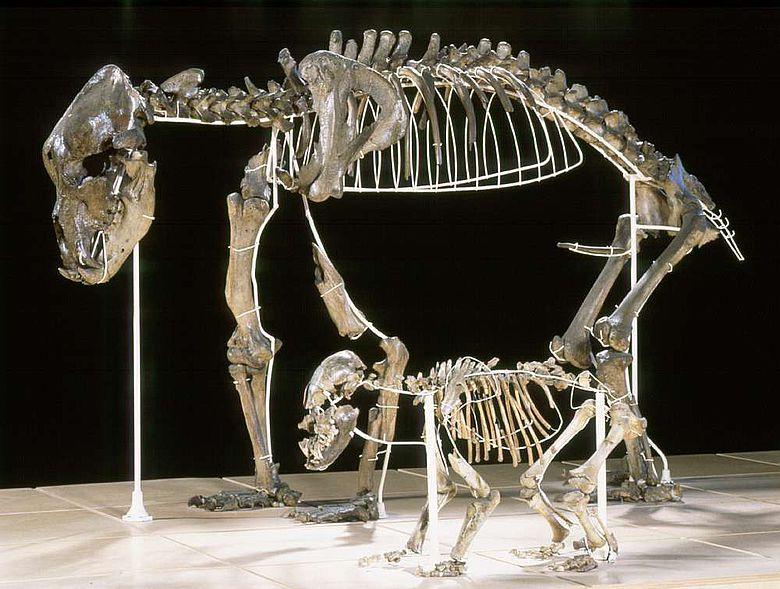 Ausgewachsener Höhlenbär mit Jungtier aus Belgien