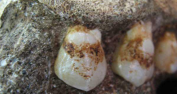Oberkiefer des Malapa-Homininen