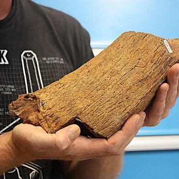 Das Fragment vom Horn eines Wasserbüffels