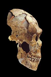 Der Schädel des Neandertalers aus der Grotte Saint-Césaire in der Region Charante-Maritime, Frankreich. (Grafik: Dep. Human Evolution, Max Planck Institue for Evolutionary Anthropology)