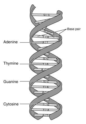 Schematische Darstellung der DNA-Bestandteile. (Grafik: United States Department of Engery)