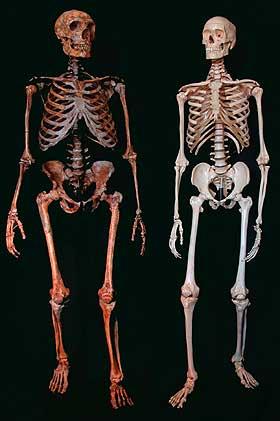 Das robuste Skelett eines Neandertalers (links) ist eindeutig von dem eines modernen Menschen (rechts) zu unterscheiden. (Foto: Maley, Mowbray, Sawyer, Tattersall, American Museum of Natural History)