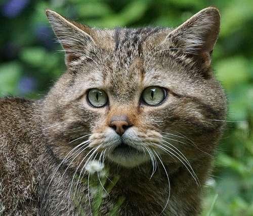 Die europäische Wildkatze (Felis silvestris silvestris)