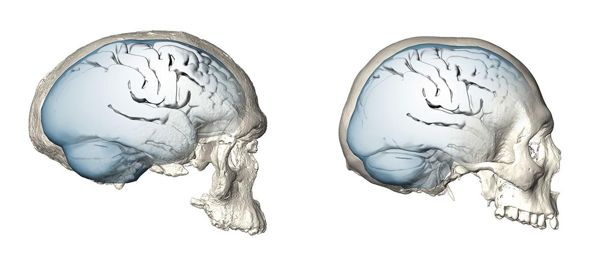 Langsame und späte Evolution des menschlichen Gehirns | Nachricht ...