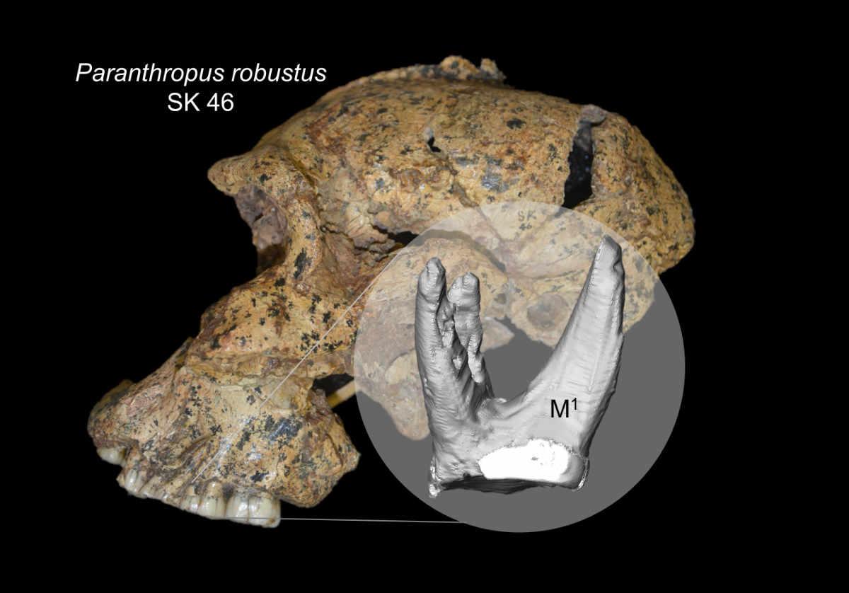 Die Zahnwurzeln unserer Vorfahren | Nachricht @ Archäologie Online