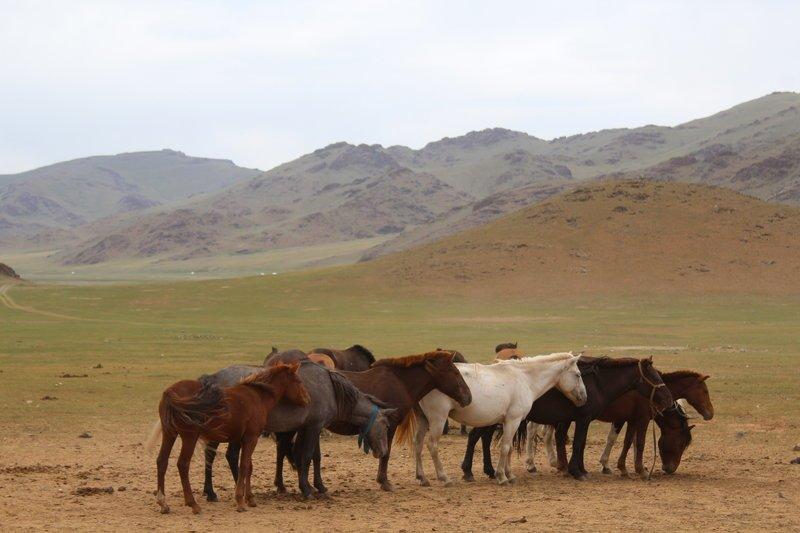 Pferdeherde im Khangai-Gebirge