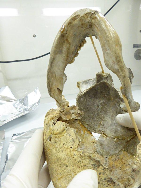 Probennahme aus dem Felsenbein an der Basis des Schädels von Zlatý kůň