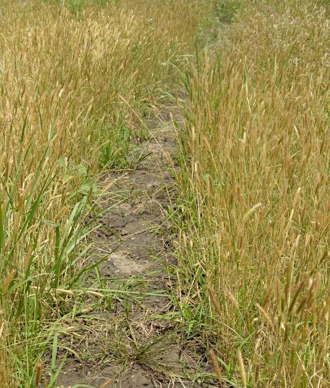 Bei den Pflanzen, die auf beiden Seiten dies Bisonpfades wachsen, handelt es sich hauptsächlich um kleine Gerste