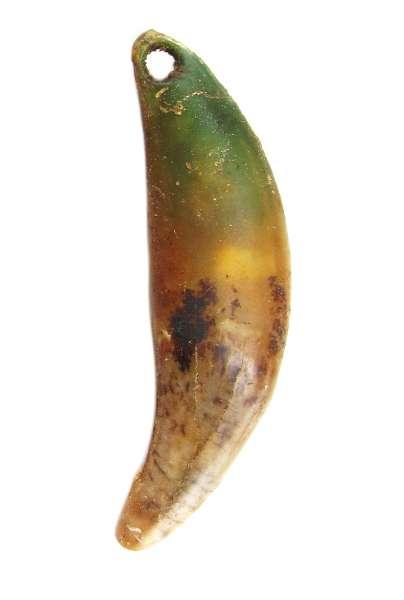 Die Steinzeit-Menschen in Schmerlecke hatten eine Vorliebe für Tierzahnanhänger. Die grüne Verfärbung weist darauf hin, daß der Tierzahn mit Kupferschmuck kombiniert wurde (Foto:LWL /H. Menne)