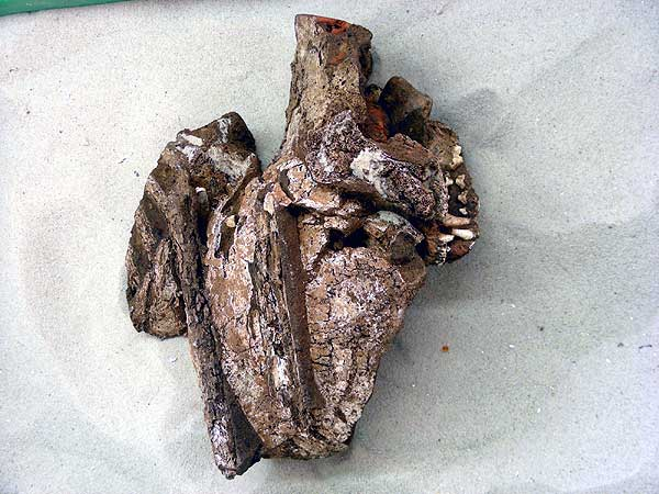 Die Schädelkalotte und die Reste des Kiefers des ebenfalls im Töpferofen gefundenen Hundes. (Foto: LWL/Andreas Weisgerber)