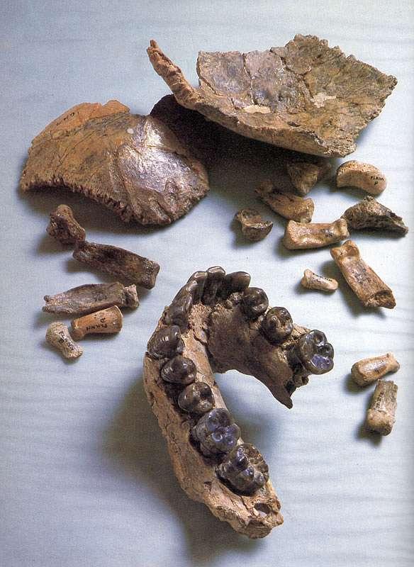Das Fossil Olduvai Hominid 7
