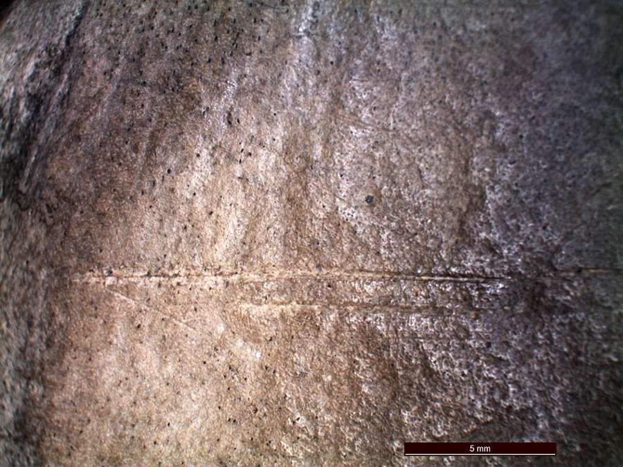 Knochen mit Schnittspur unter dem Mikroskop
