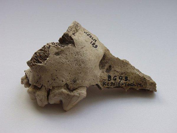Oberkieferknochen vom Kesslerloch SH. Anhand von Vergleichen stellten die Forscher fest, dass er zu einem Hund gehörte. (© Hannes Napierala, Universität Tübingen)