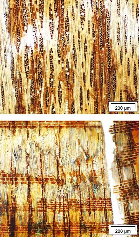 Holzprobe von 800 Jahre altem polynesischem Speer