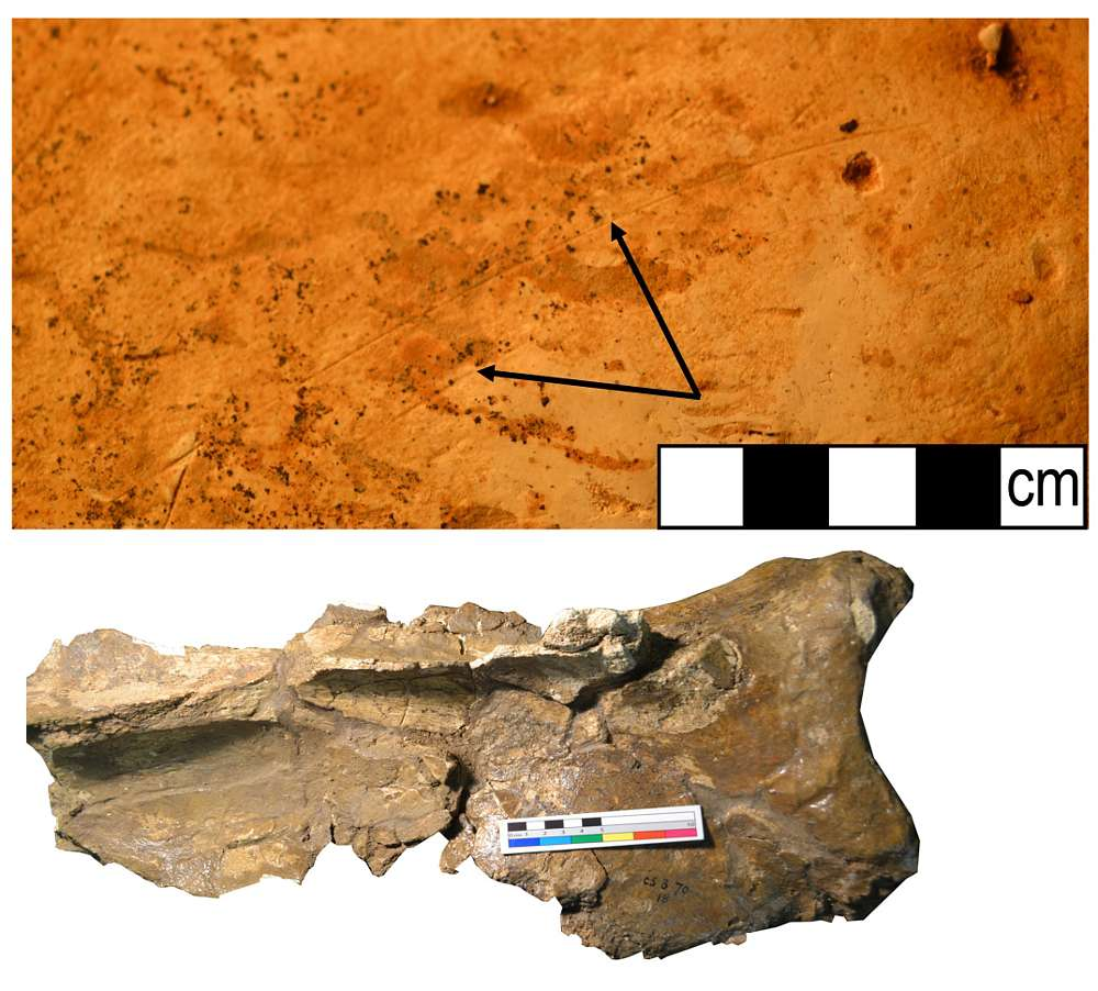 Schulterblatt eines Mammuts