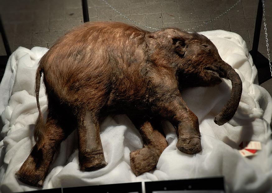 Mammut-Baby Lyuba. © Troyka/Neanderthal Museum