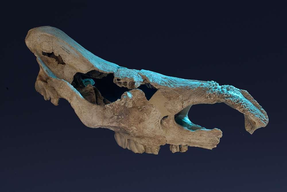Schädel ältesten Fellnashorns Europas