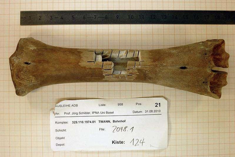 Mittelhandknochen des kleinen Rindes von Twann