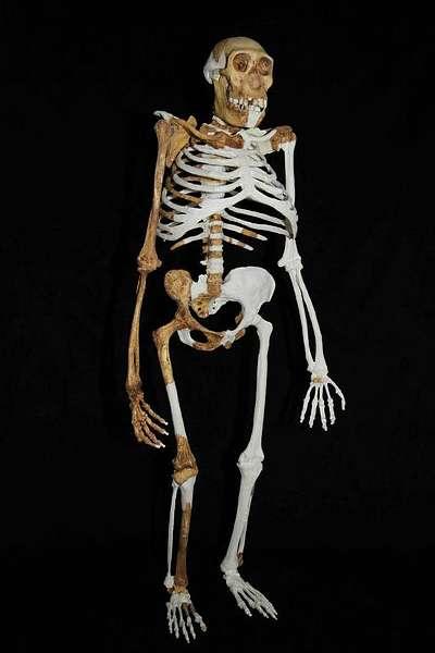 Rekonstruktion des Australopithecus sediba (Abb.: Lee Berger; University of Witwatersrand)