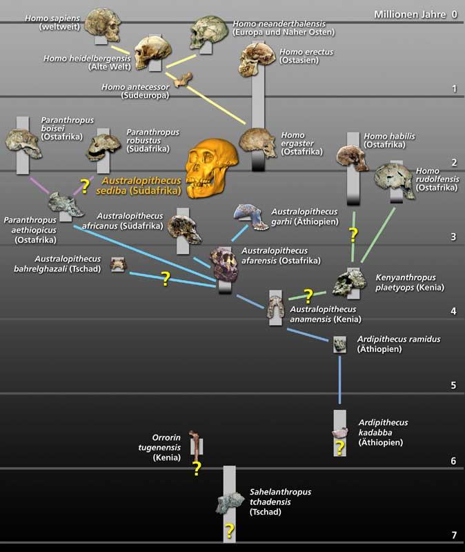 Einordnung des Australopithecus sediba in die Entwicklungsgeschichte der Hominiden (© Uni Zürich)